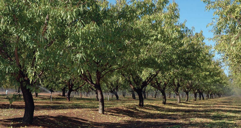 Almonds, Red Cliffs Victoria